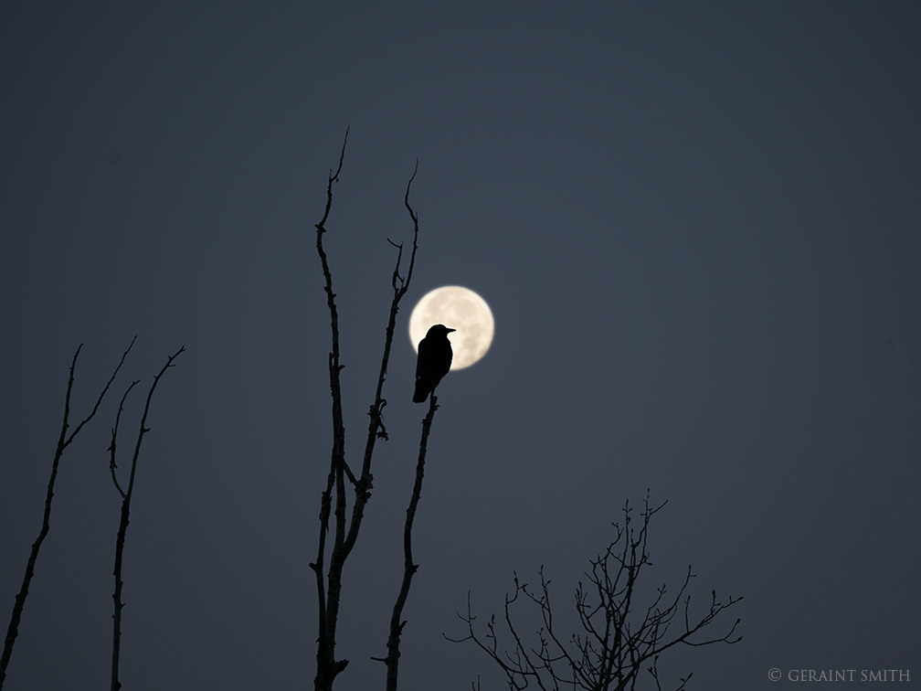 American Crow, Cottonwood Tree, Full Beaver Moon