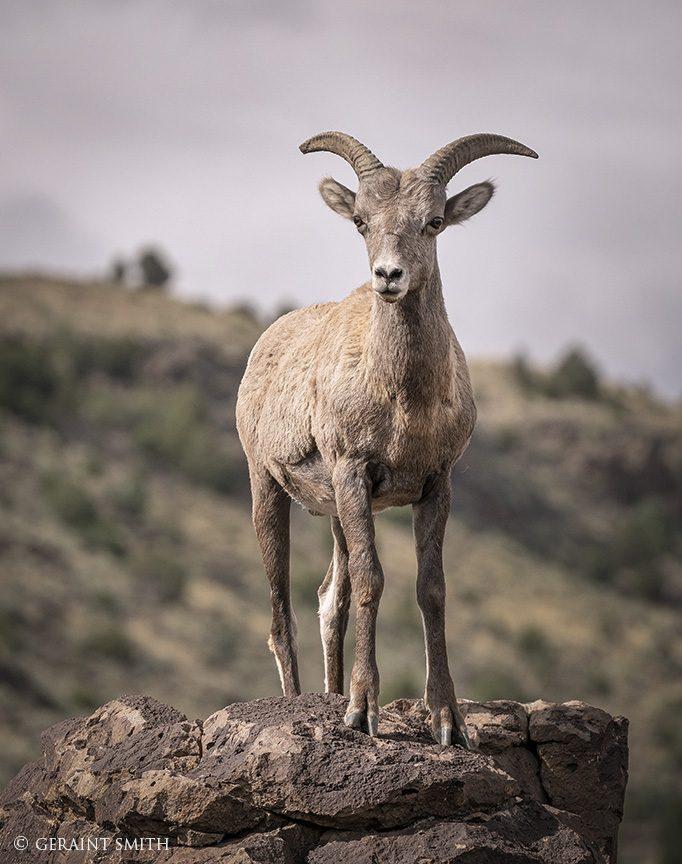 Bighorn Sheep, Rio Grande Gorge, New Mexico