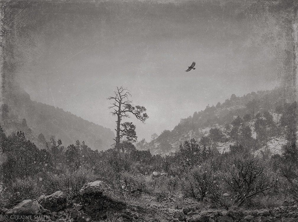 Golden Eagle, Snow, Rio Grande Gorge, New Mexico