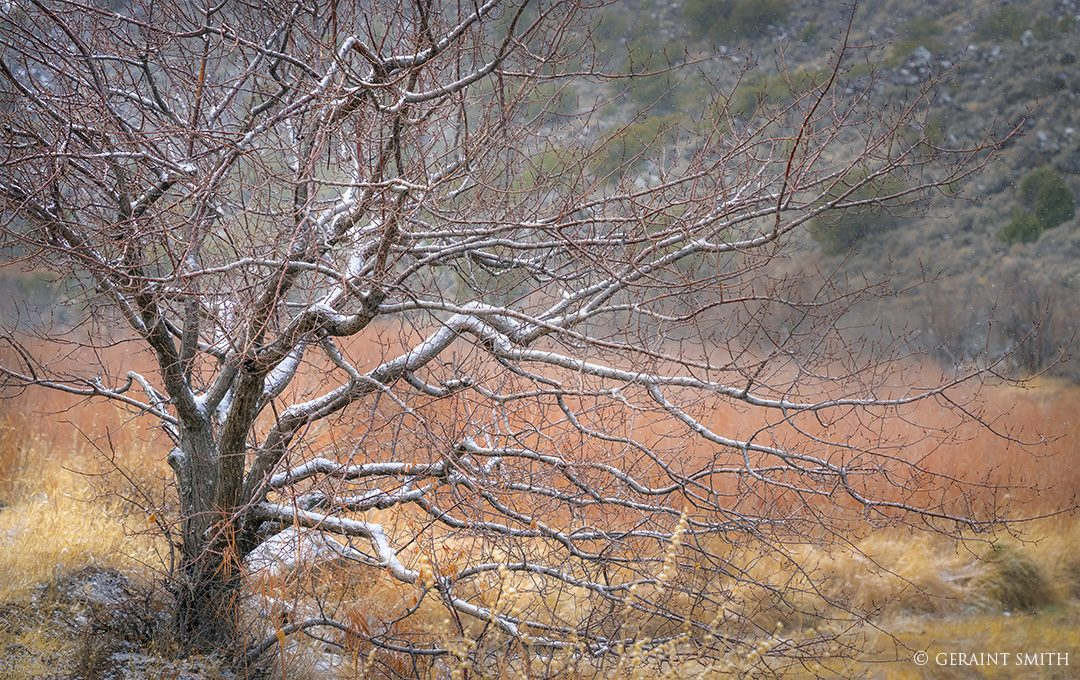Apricot Tree, Winter, Orilla Verde, Rio Grande Gorge, NM