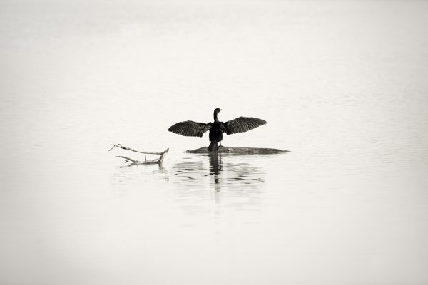 Morning Cormorant
