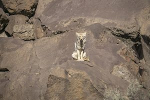 Coyote Watches