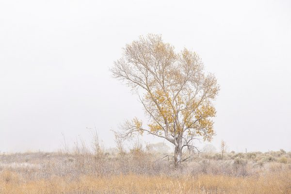 Snowy Meadows, Lone Tree