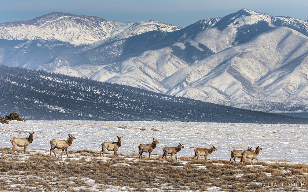 Elk herd in the Rio Grande del Norte