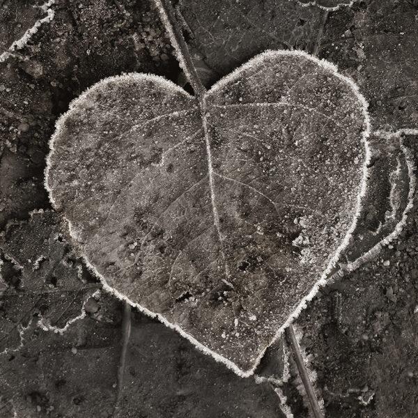 frosty leaf 9808