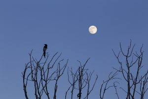 Magpie, Cottonwood, Moon