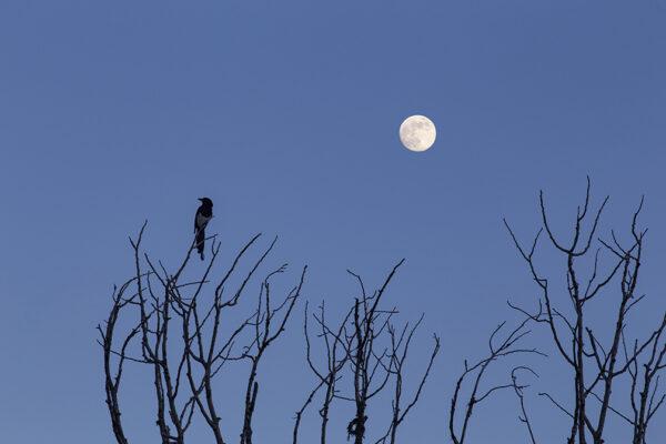 Magpie, Cottonwood, Moon