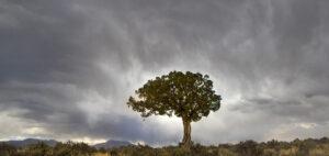 Mesa Juniper Tree