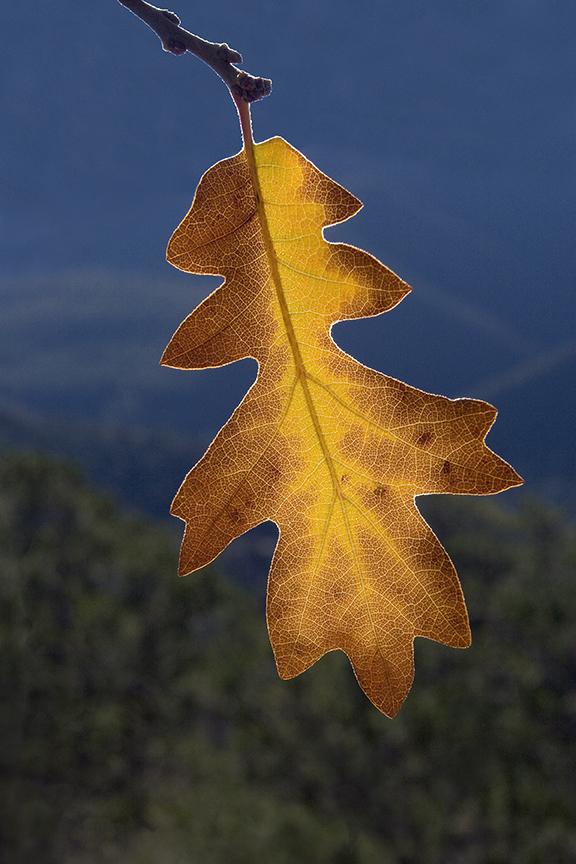 Oak Leaf Light