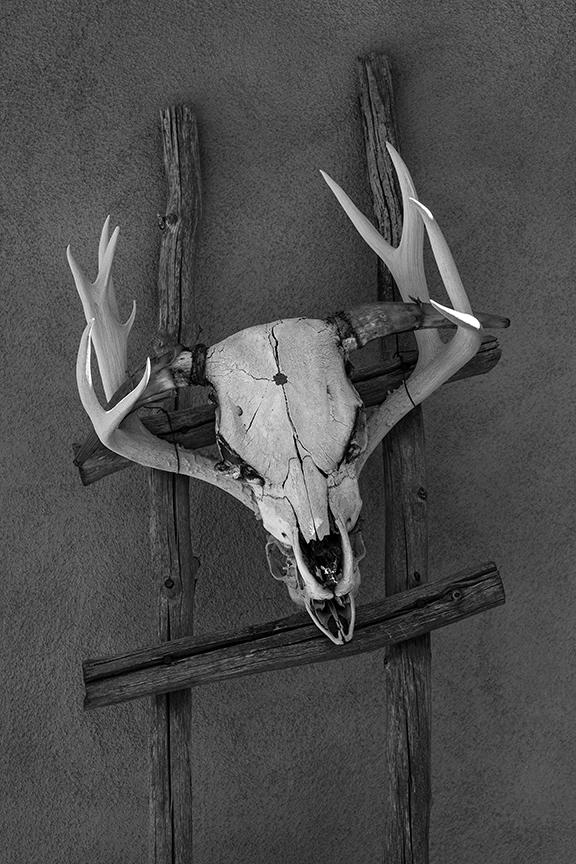 Steer, Deer Skulls, Ladder