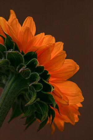 Sunflower Orange