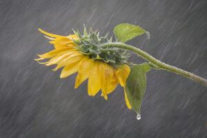 Sunflower Sun Shower