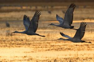 Three Dawn Cranes