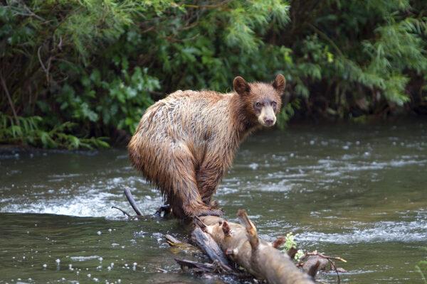 Cimarron Bear, New Mexico