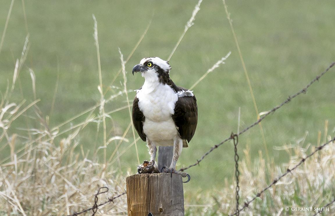 Osprey Chama NM