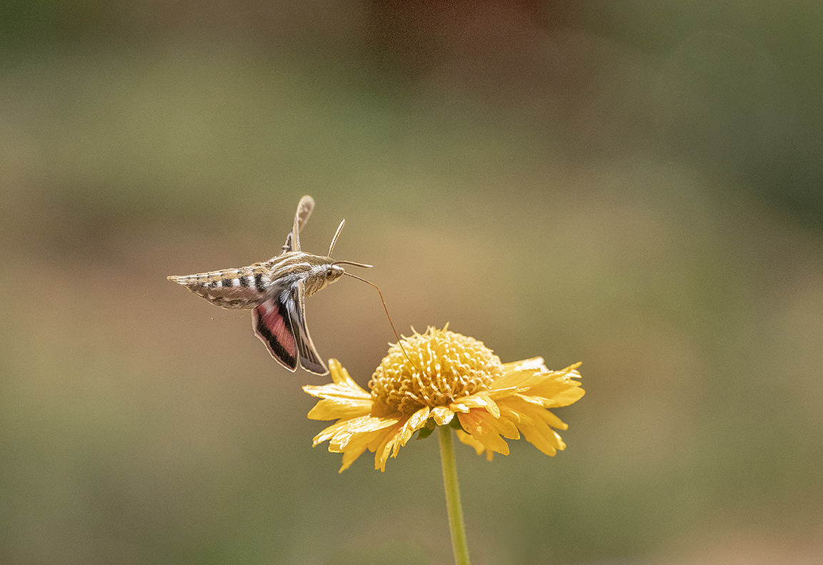 White-sided Sphinx Moth
