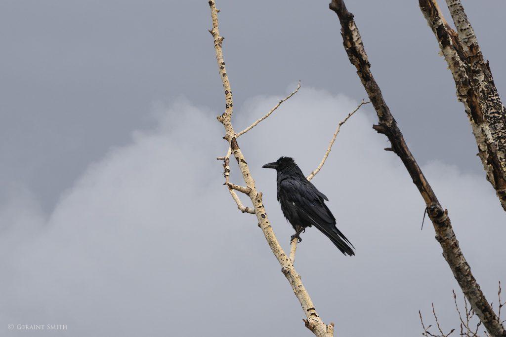 Raven, San Cristobal