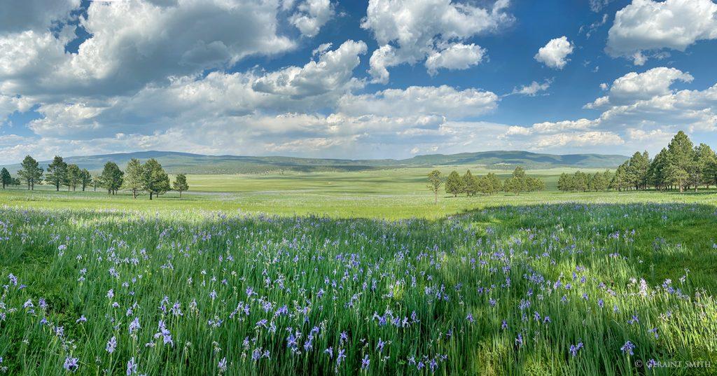 Wild iris, Black Lake, NM