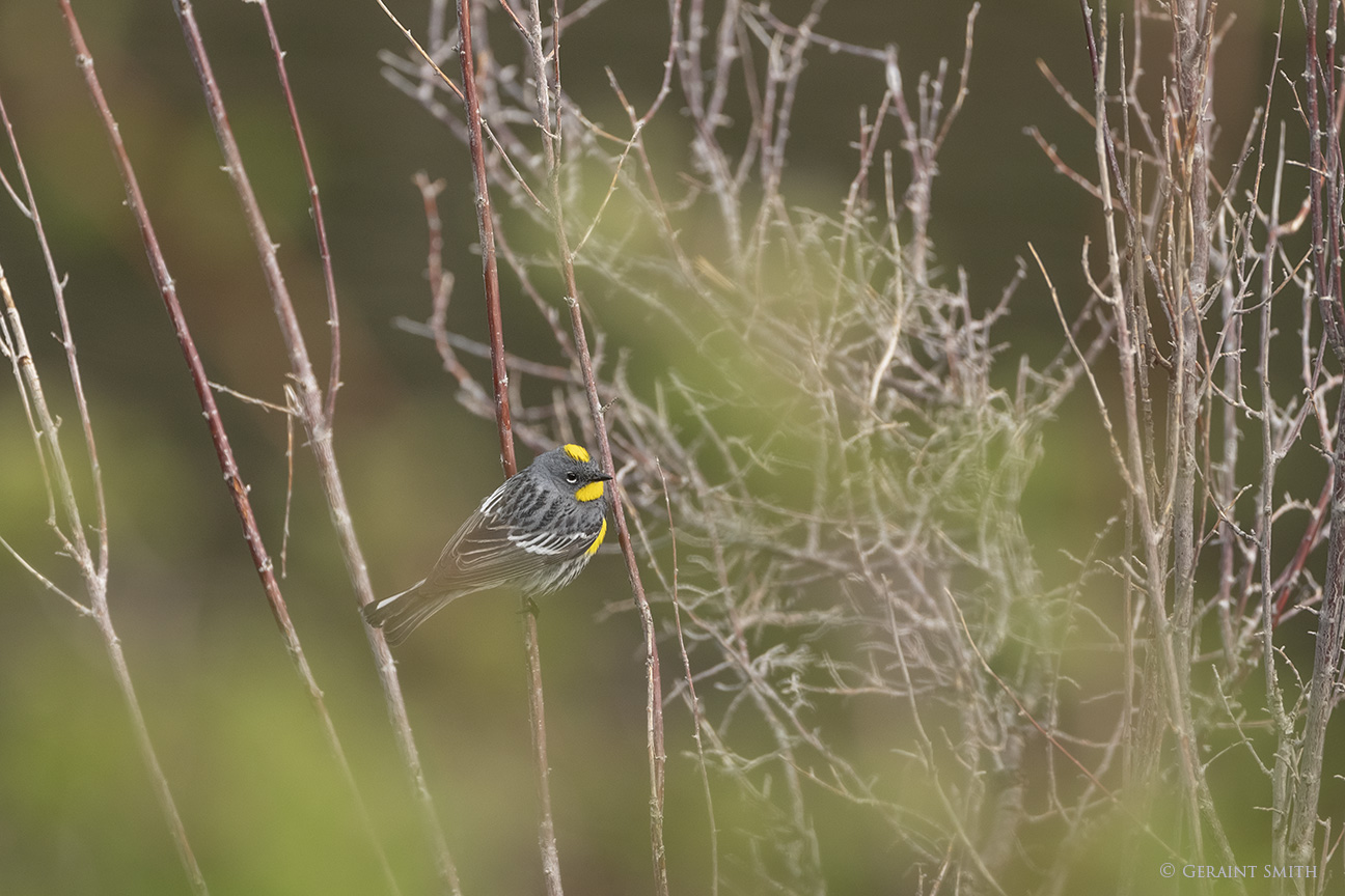 Yellow-rumped Warbler in the Valle Vidal, New Mexico