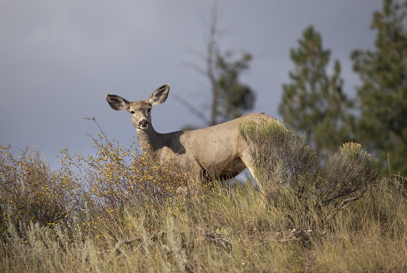 Mule Deer, Valle Vidal