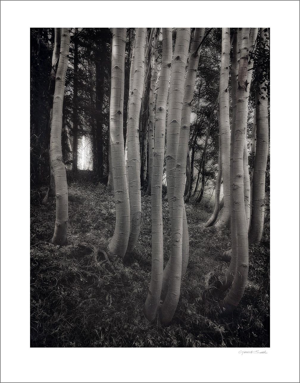 Aspen grove, Cumbres Pass