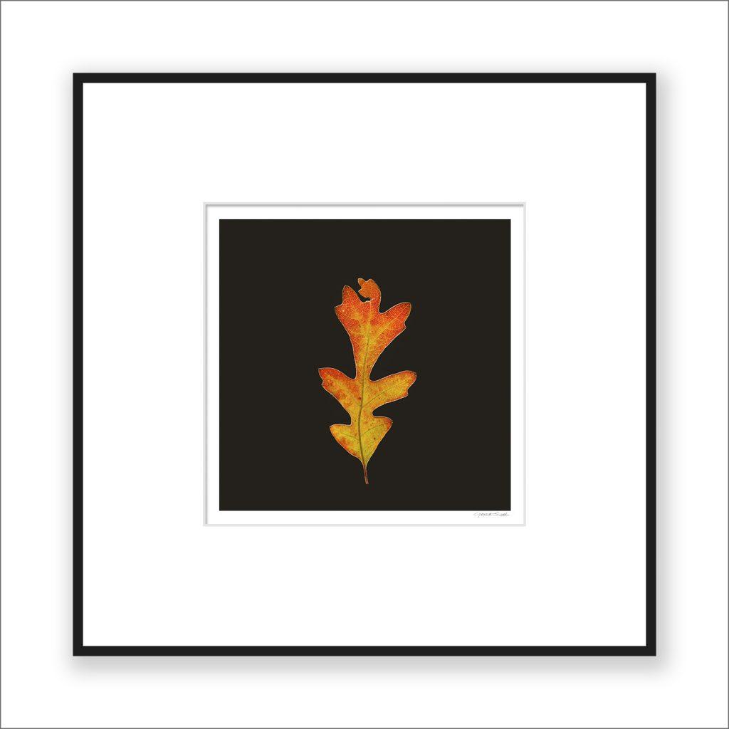 Oak Leaf, matted and framed