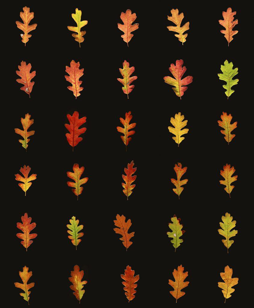 Sangre de Cristo Oak leaves Composite