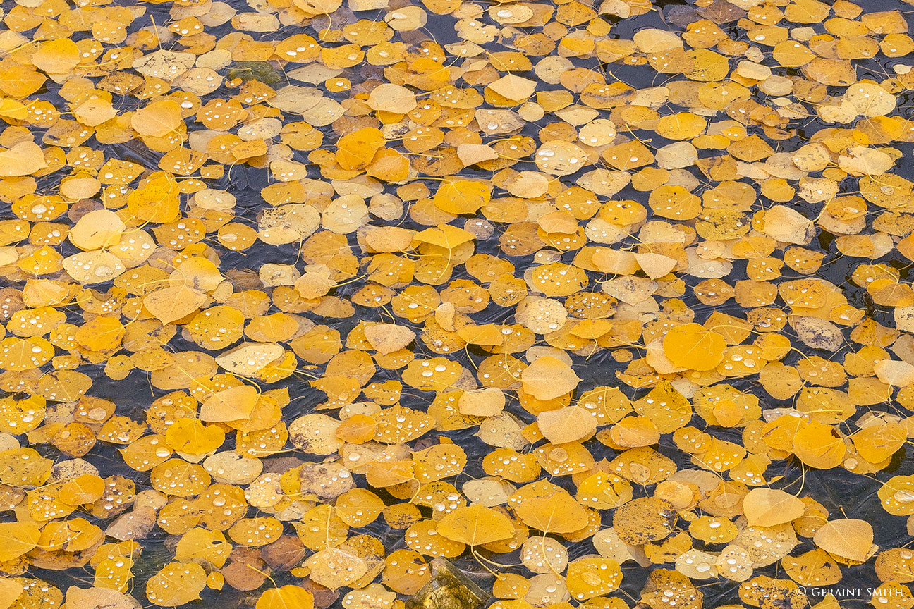 Aspen leaves on a mountain pond