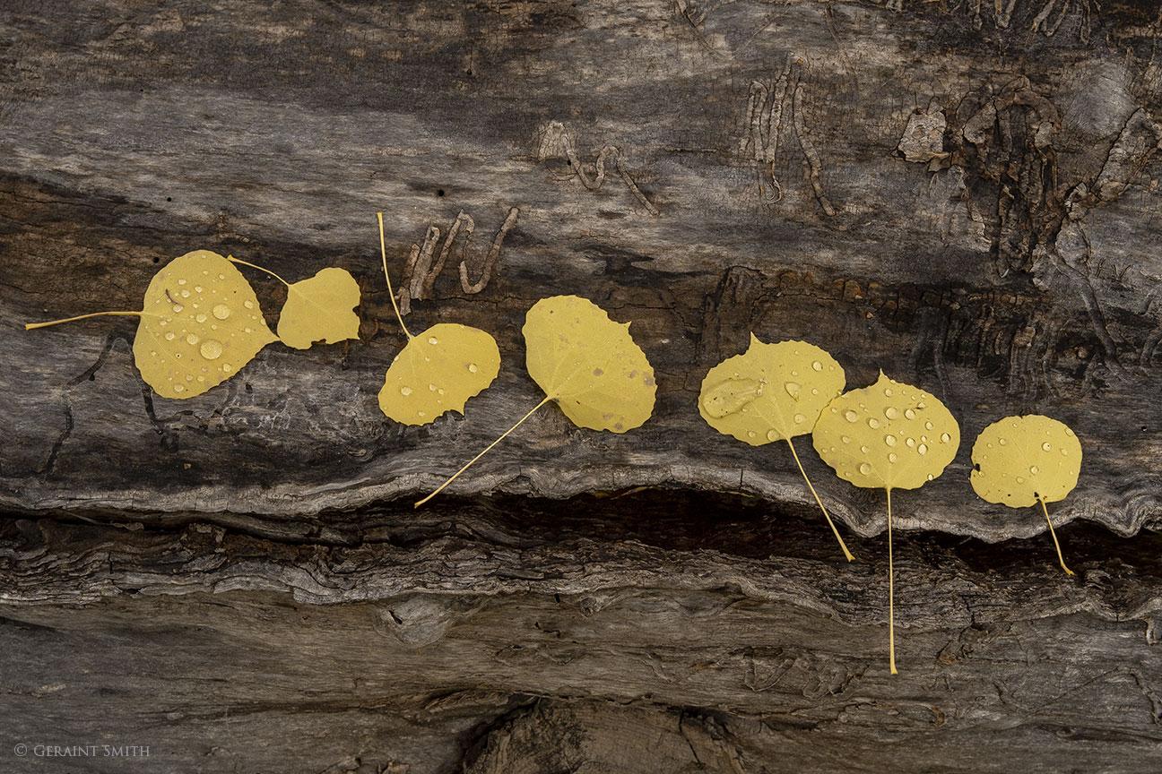 Aspen leaves on a log